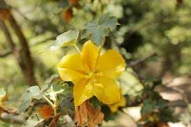 native california flower: flannelbush